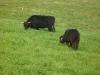 Schwarze Tiere